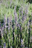 Schöne Lavendelblumen Stockfotografie