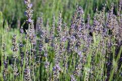 Schöne Lavendelblumen Stockfoto