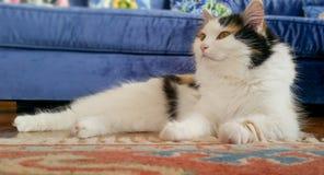 Schöne legende Katze auf einem roten Teppich zu Hause Lizenzfreies Stockbild
