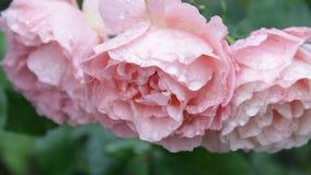 Schöne leichte Rosen in den Tröpfchen des Regens stock footage