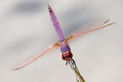 Schöne Libelle Stockbilder
