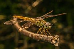 Schöne Libelle Stockbild