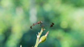 Schöne Libelle Lizenzfreie Stockfotos