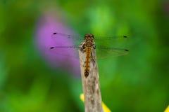 Schöne Libelle Stockfoto