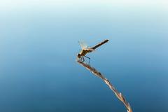 Schöne Libelle Lizenzfreies Stockbild