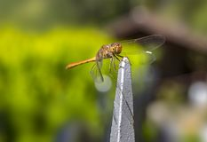 Schöne Libelle auf der Anlage Stockbild