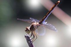 Schöne Libelle auf der Anlage Schließen Sie herauf Foto einer Libelle Stockbild
