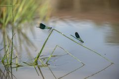 Schöne Libelle Calopteryx-splendens auf einem Grashalm nahe dem Fluss stockfoto