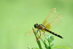 Schöne Libellen Stockfoto