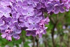 schöne lila Blumen als Hintergrund stockfotografie