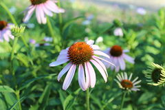 Schöne lila Blumen haben orange Staubgefässe Lizenzfreies Stockfoto