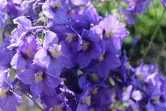Schöne lila Blumen im Vorgarten lizenzfreies stockbild