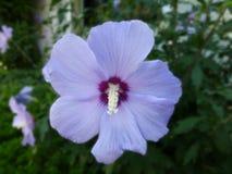 Schöne lila Hibiscusblume in voller Blüte lizenzfreie stockbilder