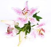 Schöne Lilie auf Weiß Stockfotografie