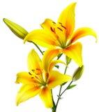 Schöne Lilien lizenzfreies stockfoto