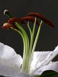 Schöne Lilienblume Stockbild