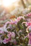 Schöne Lilienblume im Regen und im Sonnenuntergang Lizenzfreie Stockfotos