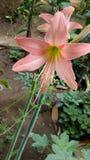 Schöne lilly Blumen Lizenzfreie Stockfotos