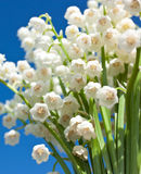 Schöne Lily-of-the-valleyblumen Stockfoto