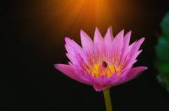 Schöne Lotosblume auf der Oberfläche des Wassers lizenzfreie stockbilder