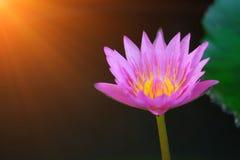 Schöne Lotosblume auf der Oberfläche des Wassers lizenzfreie stockfotografie