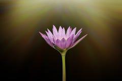 Schöne Lotosblume beim Blühen Stockfotografie