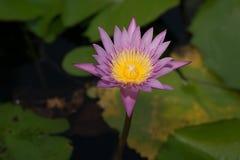 Schöne Lotosblume beim Blühen Lizenzfreie Stockfotografie