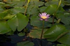 Schöne Lotosblume beim Blühen Stockfoto