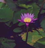 Schöne Lotosblume beim Blühen Stockbild