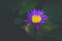 Schöne Lotosblume beim Blühen Lizenzfreie Stockbilder
