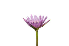 Schöne Lotosblume beim Blühen Lizenzfreies Stockfoto