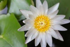 Schöne Lotosblume der Nahaufnahme, Fokusunschärfe der Blume des weißen Lotos ausgewählte oder unscharfe Weichzeichnung, Lotus-Blu Stockfotografie