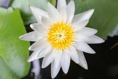 Schöne Lotosblume der Nahaufnahme, Fokusunschärfe der Blume des weißen Lotos ausgewählte oder unscharfe Weichzeichnung, Lotus-Blu Lizenzfreies Stockbild