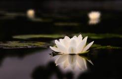 Schöne Lotosblume der Seerose Stockfotos