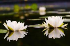Schöne Lotosblume der Seerose Stockbilder