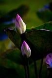 Schöne Lotosblume an einem bewölkten Tag Stockfotografie
