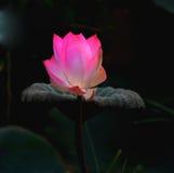 Schöne Lotosblume an einem bewölkten Tag Stockfotos