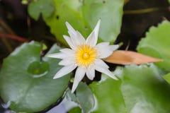 Schöne Lotosblume, Fokusunschärfe der Blume des weißen Lotos ausgewählte oder unscharfe Weichzeichnung, Lotus-Blumenhintergrund Stockfotos
