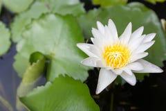 Schöne Lotosblume, Fokusunschärfe der Blume des weißen Lotos ausgewählte oder unscharfe Weichzeichnung, Lotus-Blumenhintergrund Lizenzfreies Stockbild