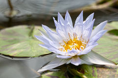 Schöne Lotosblume im Naturhintergrund Stockfoto
