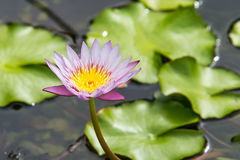 Schöne Lotosblume im Teich Stockfotos