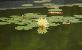 Schöne Lotosblume ist das Symbol des Buddhas Stockfoto