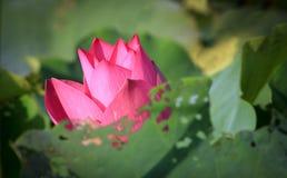 Schöne Lotosblumen stockbild