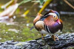 Schöne männliche Mandarinen-Ente (AIX galericulata) Lizenzfreies Stockfoto