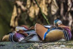 Schöne männliche Mandarinen-Ente (AIX galericulata) Lizenzfreies Stockbild