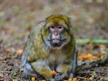 Schöne macaco Affen im Wald Stockbild