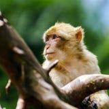 Schöne macaco Affen im Wald Lizenzfreie Stockfotos