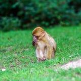 Schöne macaco Affen im Wald Lizenzfreies Stockbild