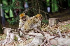 Schöne macaco Affen im Wald Lizenzfreie Stockfotografie