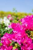 Schöne magentarote Blumen Stockbild
